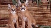 Подборочка великолепных широкоформатных обоев на рабочий стол с котятками,тигрятками и т.д. ;)
